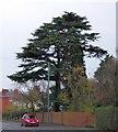 SJ4914 : Cedar beside Ellesmere Road, Shrewsbury by David Smith