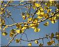 SX9064 : Ginkgo, Pretty Park by Derek Harper