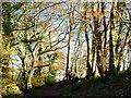 ST3698 : Edge of a beech wood by Jonathan Billinger