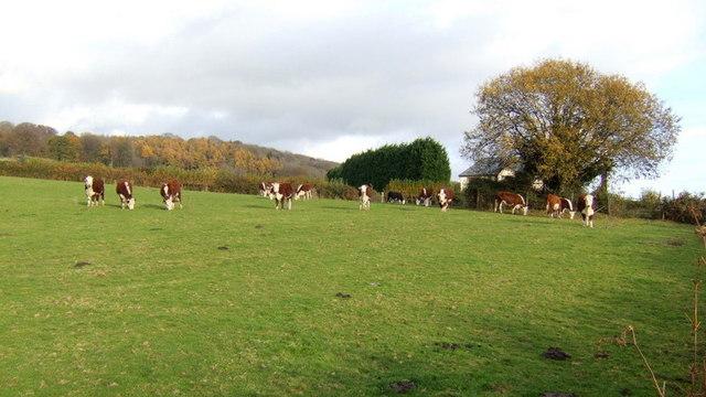 Cattle grazing, 2