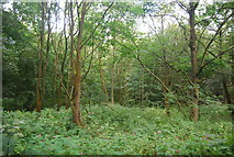 SE3158 : Woodland in the Nidd Gorge by N Chadwick