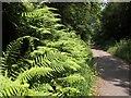 SX5185 : Male ferns by the Granite Way by Derek Harper
