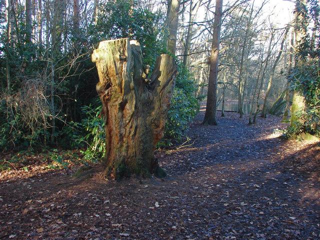 Old tree, Heath Lake Woods