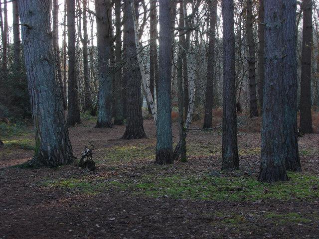 Pine woods, Heath Lake