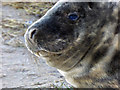 TF4299 : Grey seal at Donna Nook by Steve  Fareham