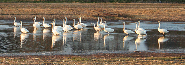 Whooper Swans (Cygnus columbianus)