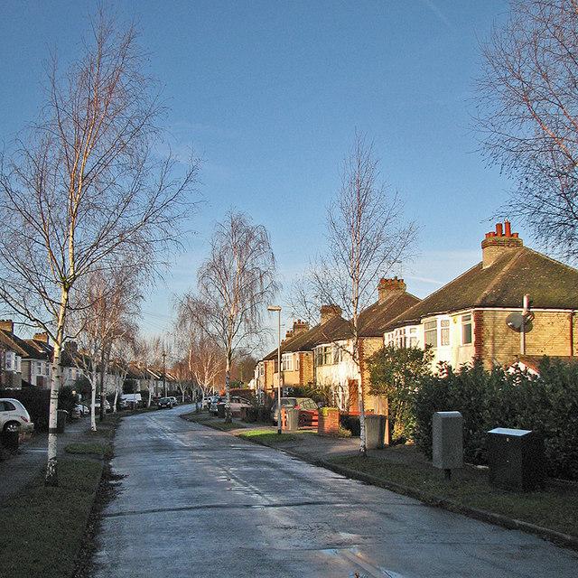 Suburban silver birches