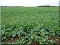 SE5117 : Large arable field, Smeaton Leys by Christine Johnstone