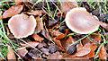 J4077 : Fungi, Redburn Country Park, Holywood - December 2014(3) by Albert Bridge