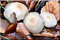 J4077 : Fungi, Redburn Country Park, Holywood - December 2014(4) by Albert Bridge