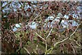 SJ9468 : Alder (Alnus glutinosa) by Dave Dunford