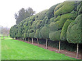 SO7241 : Cloud-pruned Yew at Old Colwall House by Trevor Rickard