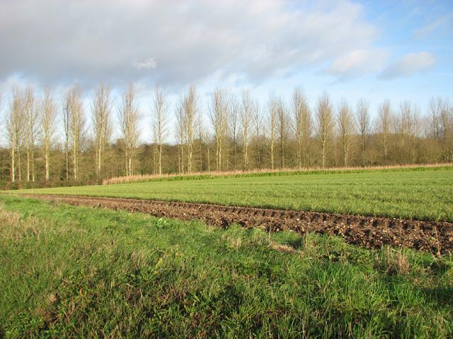 Poplars growing beside the River Tud