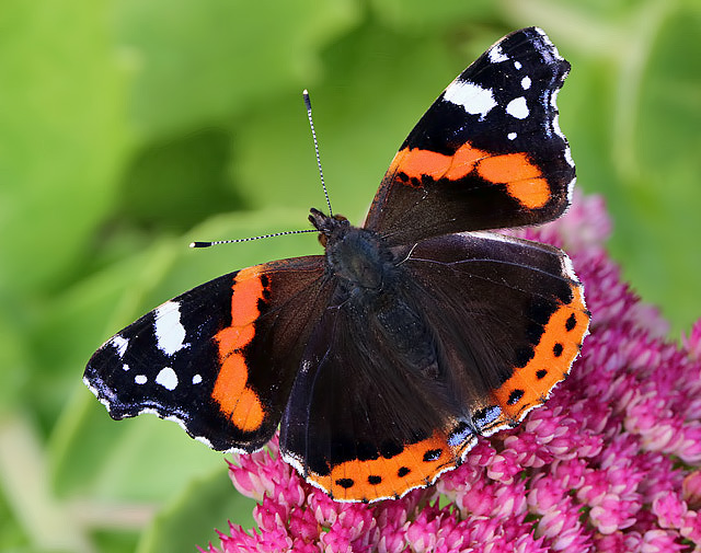 Image result for uk butterfly