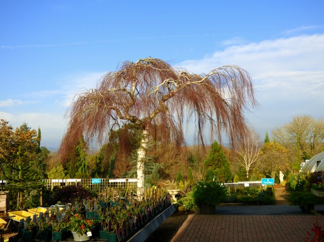 Birch tree at Limes Cross Garden Centre