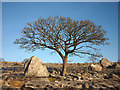 SD5479 : Tree and boulders, Holmepark Fell by Karl and Ali