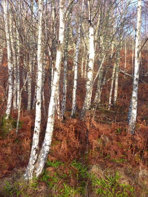 Winter Birches by Loch Garry