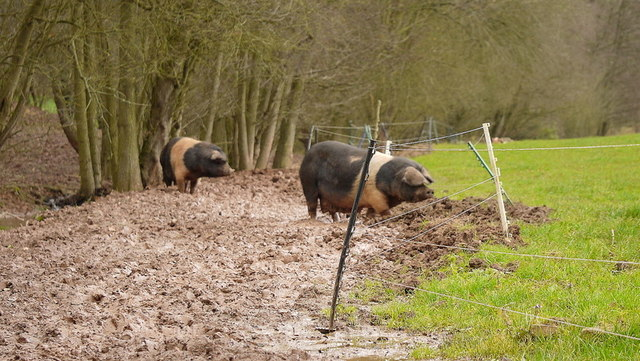 More pigs wallowing in mud