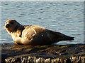 SX9687 : Seal at repose - Topsham by Chris Allen