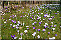SP0583 : Crocuses by the hazel tunnel at Winterbourne by Phil Champion