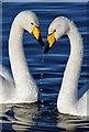 NY0565 : Whooper swans (Cygnus cygnus) at Caerlaverock Wetland Centre by Walter Baxter