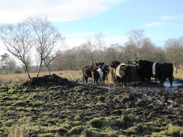 Belted Galloways near Langley
