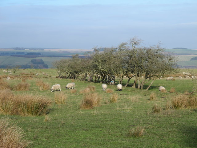 Trees marking a field boundary south of West Deanraw