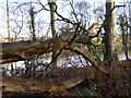 NZ0161 : Fallen tree by the Tyne by Oliver Dixon