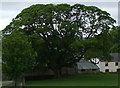 NY3037 : Mature Sycamore in Fell Side by Matthew Hatton