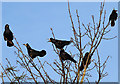 NT7035 : Rooks at Floors Home Farm by Walter Baxter