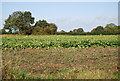 TG0410 : A field of Brassicas by N Chadwick