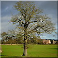 SO6443 : Oak tree, Canon Frome by Jonathan Billinger