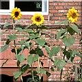SJ9593 : Sunflowers by Gerald England