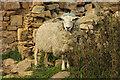 TF1468 : Tupholme sheep by Richard Croft