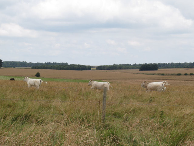 Running calves, Salisbury Plain