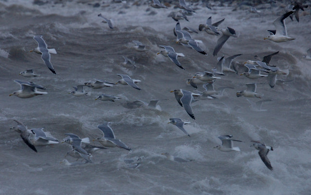 Gulls over the surf at Westing beach
