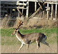 SU7886 : Fallow deer at Hambleden, Buckinghamshire by Edmund Shaw