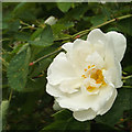 SP2965 : Alba-type shrub rose growing on the riverbank, rear of Mercia Way, Warwick by Robin Stott