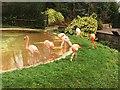 SO9490 : Flamingos, Dudley Zoo by Alex McGregor