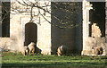 SP4816 : Sheep in the Manor House by Des Blenkinsopp