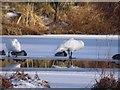 NJ6301 : Wintering wildfowl, Milltown of Craigmyle by Stanley Howe