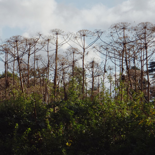 Dead flower stalks of Giant Hogweed by... © Robin Stott cc-by-sa/2.0 :: Geograph Britain and Ireland