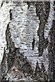 NO1523 : Birch tree, detail view by William Starkey