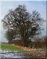 SJ4862 : Tree on a field boundary, west of Cow Lane by Christine Johnstone