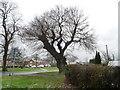 SJ3673 : Regrown old tree, Capenhurst Lane, Capenhurst by Christine Johnstone