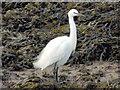 J5073 : Little egret, the Floodgates, Newtownards - January 2015(1) by Albert Bridge