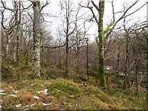NN0450 : Oak wood, Glen Creran by Richard Webb