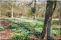 TF0820 : Wood anemones in Bourne Wood, Lincolnshire by Rex Needle