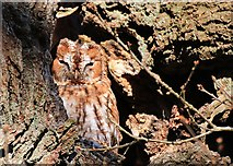 SE7170 : Sleepy Tawny owl by Pauline E
