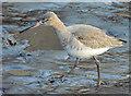 J3674 : Black-tailed godwit, Connswater, Belfast - February 2015(1) by Albert Bridge
